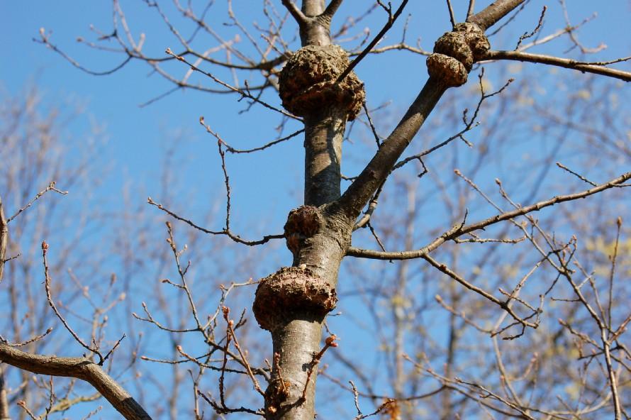 Agrobacterium tumefaciens 2 - Bacteria, Rhizobiales - (Quercus pubescens)
