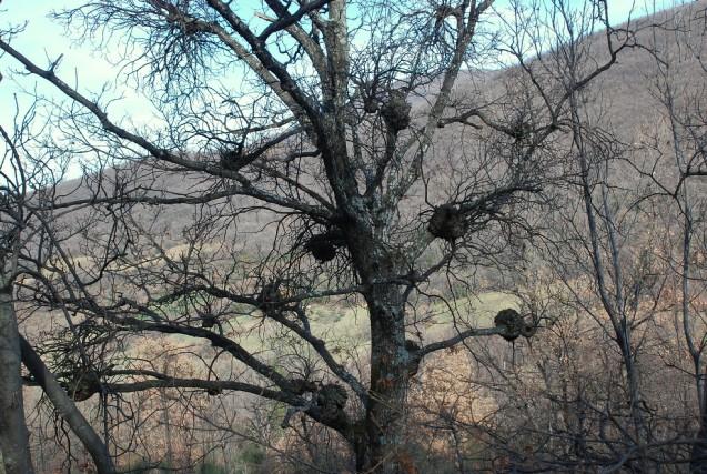Agrobacterium tumefaciens 3 - Bacteria, Rhizobiales - (Quercus pubescens)