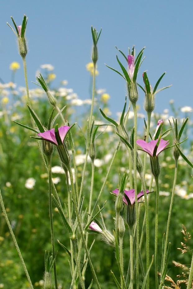 Agrostemma githago subsp. githago