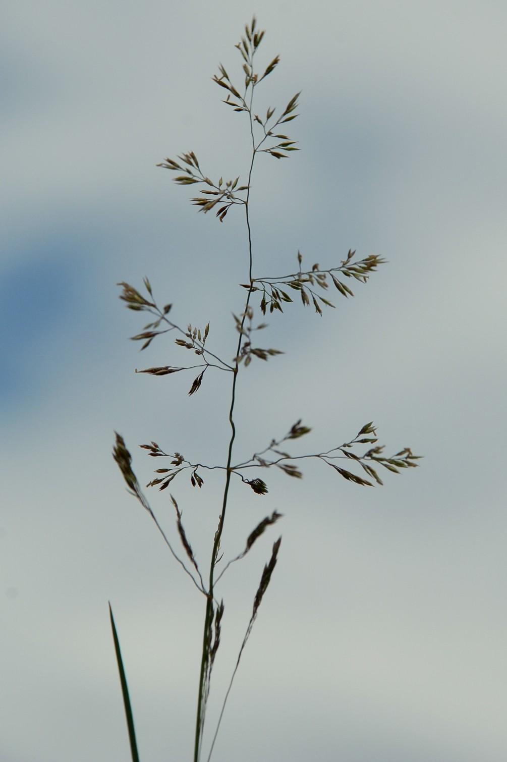 Agrostis castellana 3