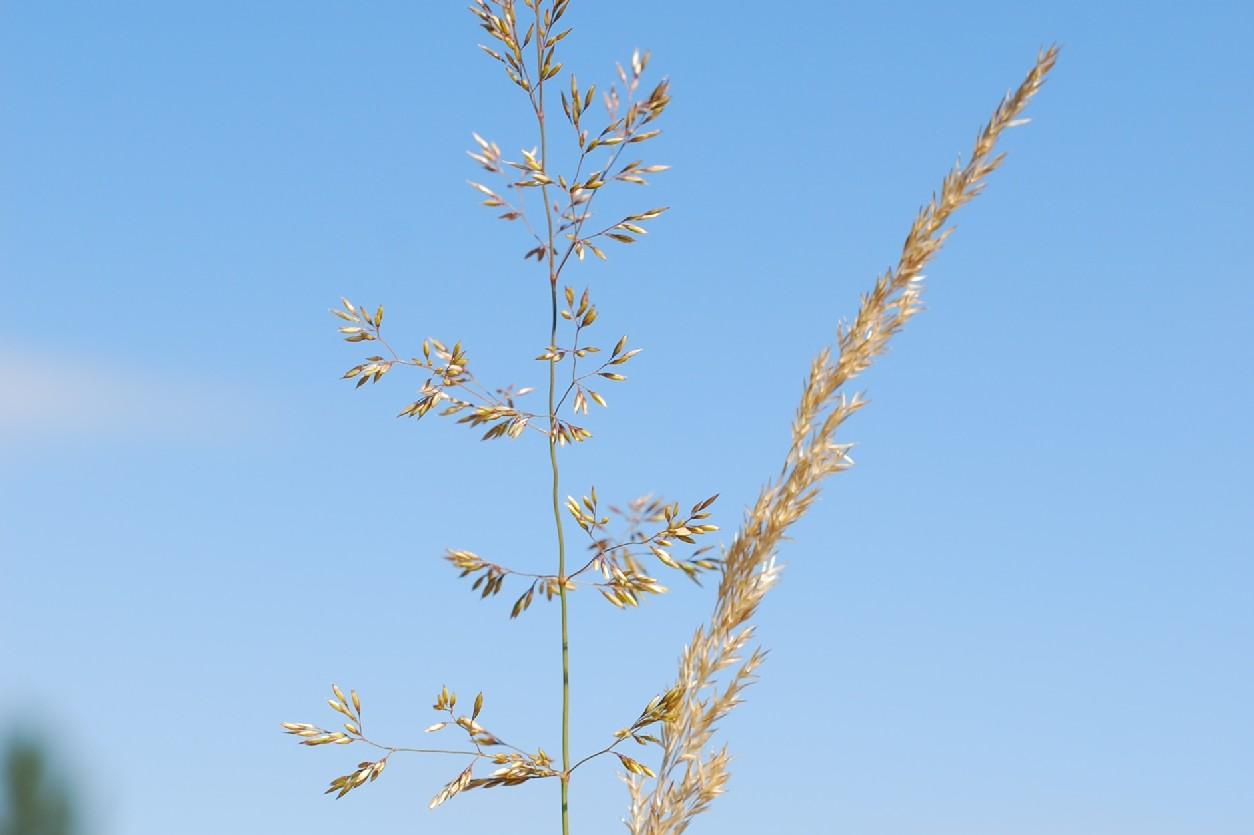 Agrostis castellana 8