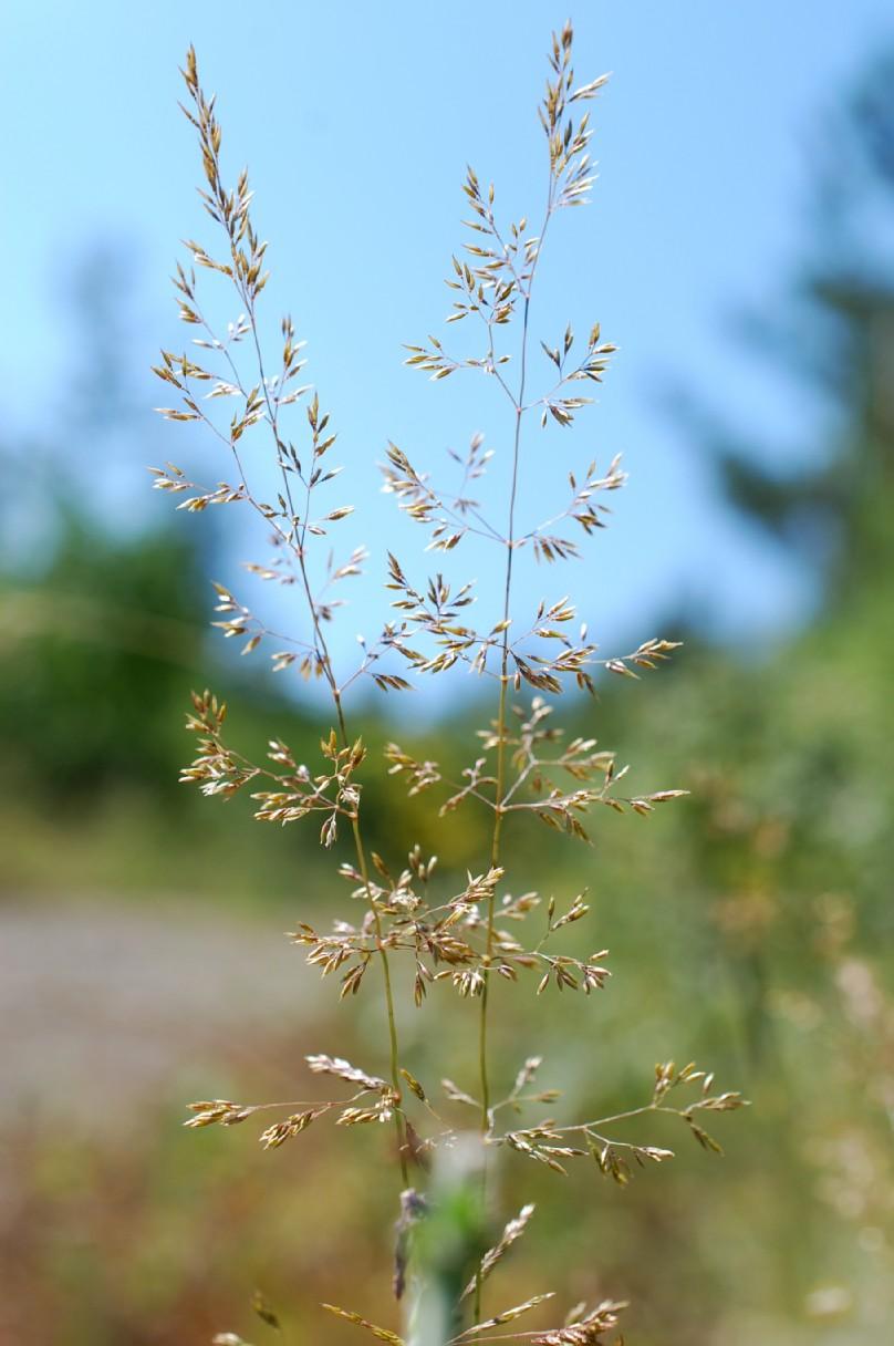 Agrostis castellana 9