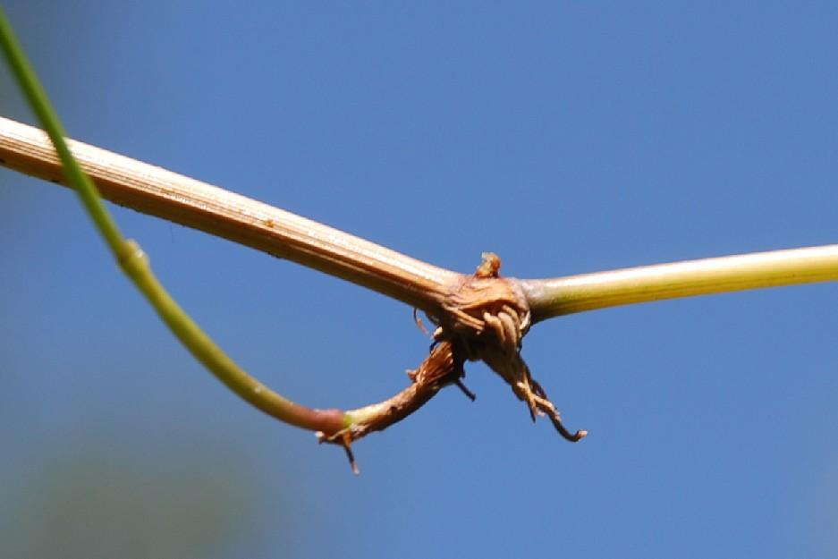 Agrostis stolonifera 7