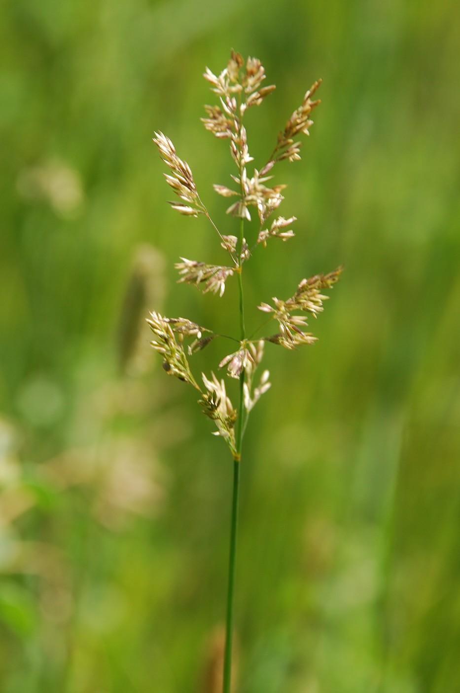 Agrostis stolonifera 9