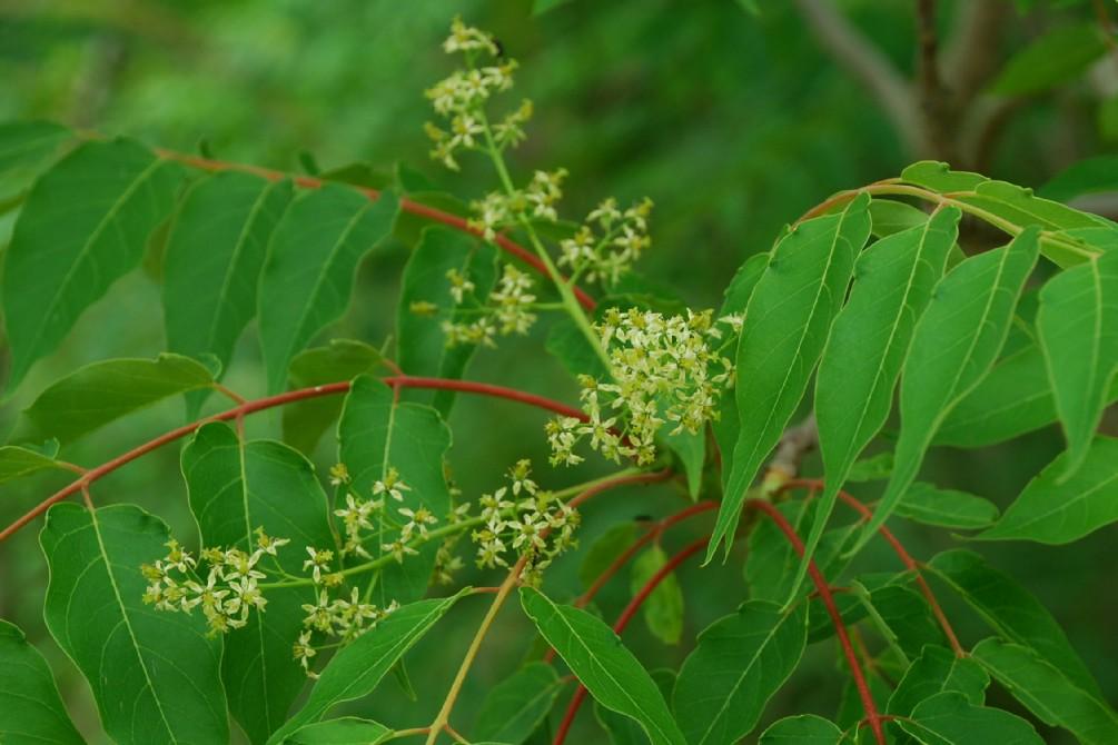 Ailanthus altissima 11