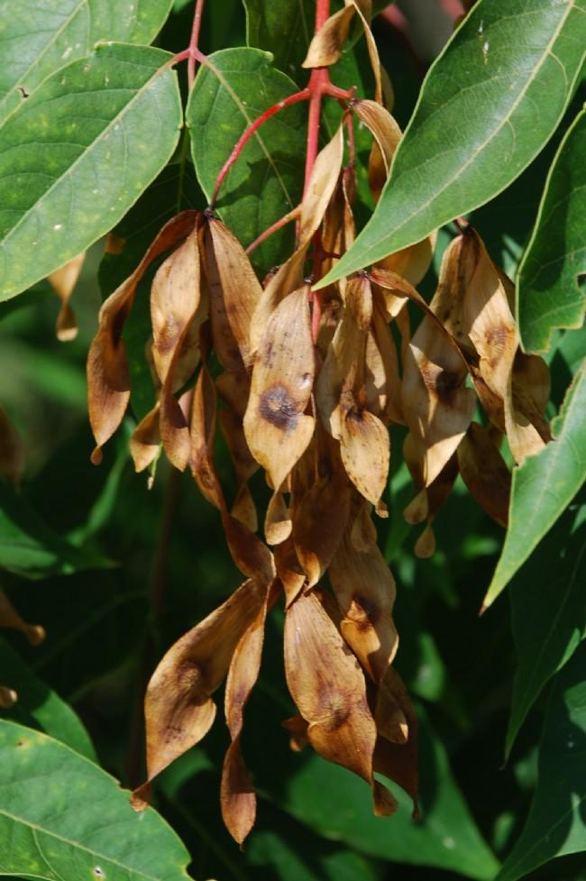 Ailanthus altissima 12