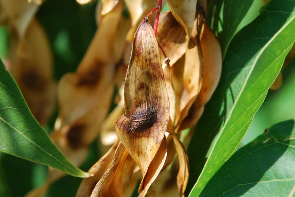 Ailanthus altissima 14
