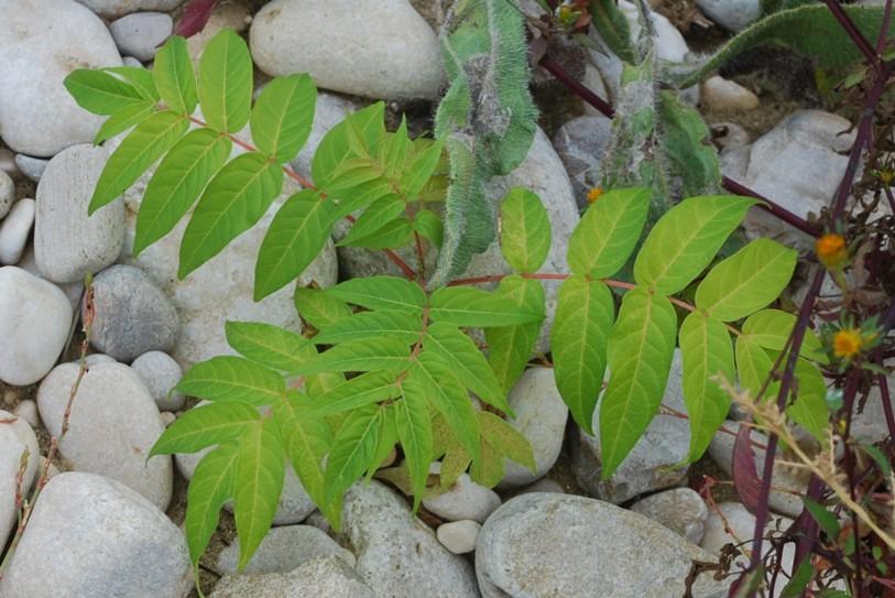Ailanthus altissima 16
