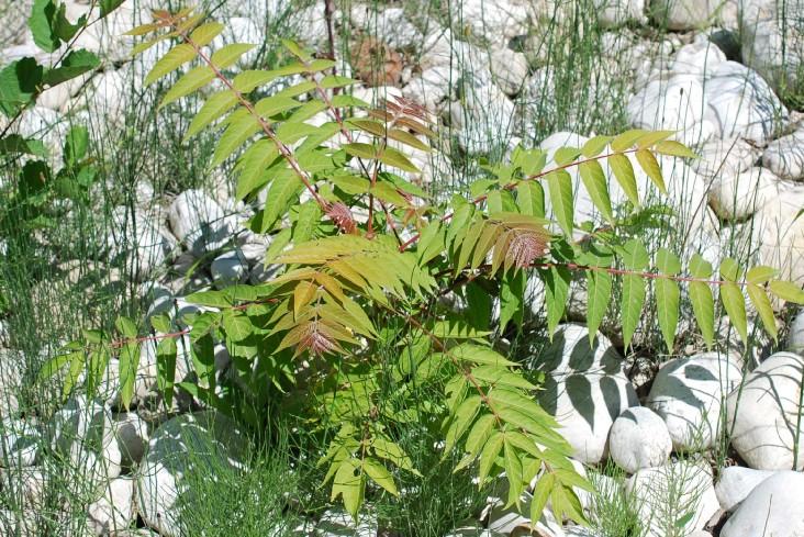 Ailanthus altissima 18
