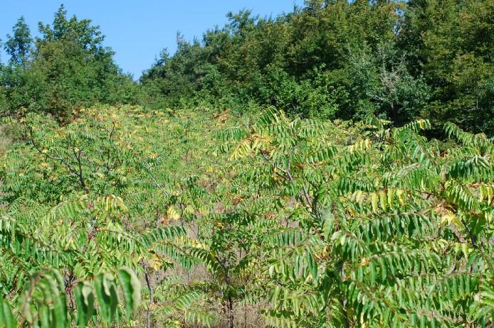 Ailanthus altissima 21