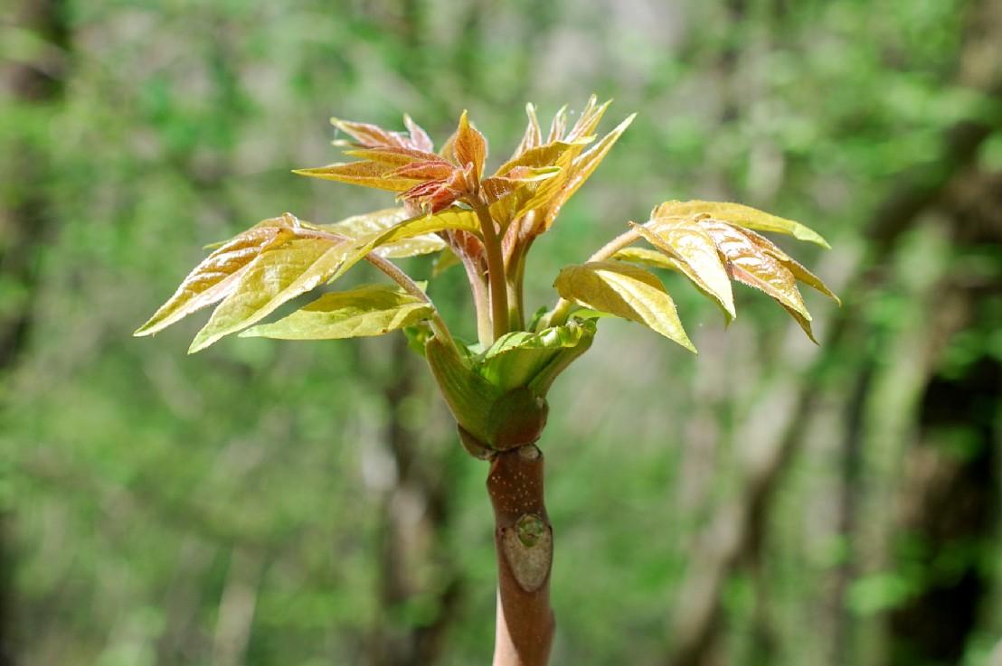 Ailanthus altissima 22