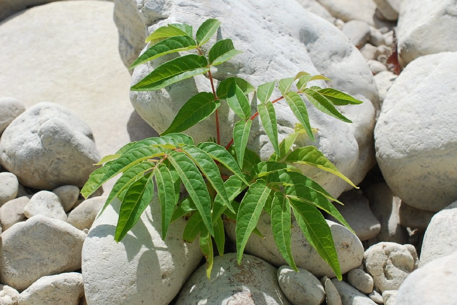 Ailanthus altissima 23