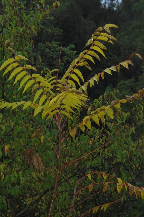 Ailanthus altissima 4