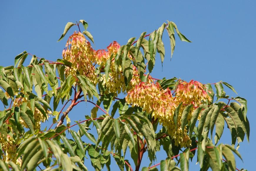 Ailanthus altissima 6