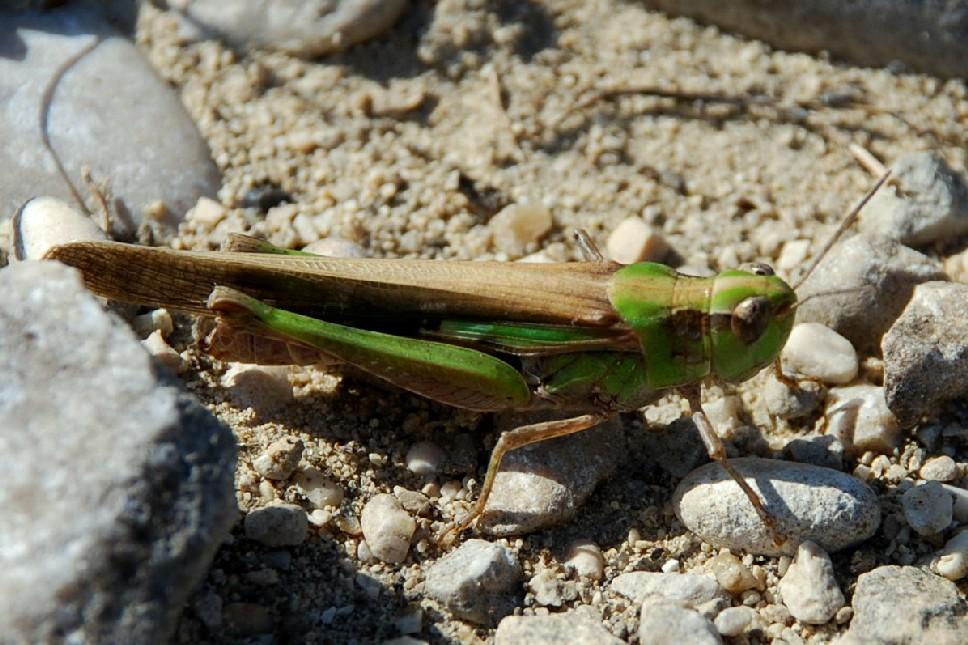 Aiolopus sp. -  Acrididae