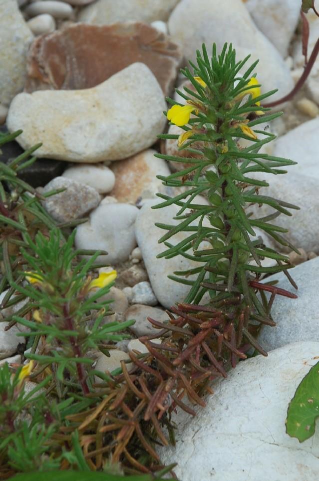 Ajuga chamaepitys subsp. chamaepitys 14