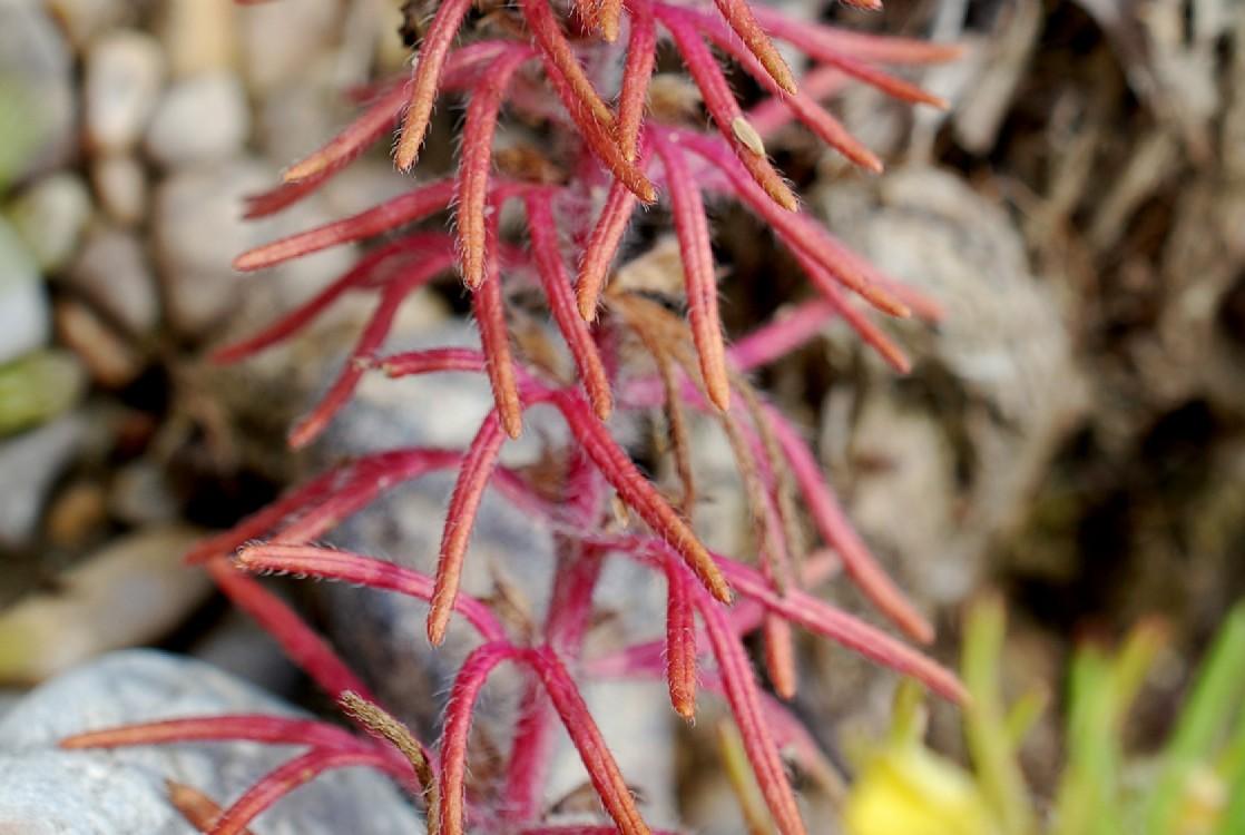 Ajuga chamaepitys subsp. chamaepitys 21