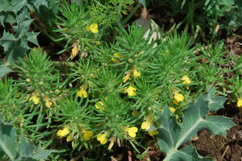 Ajuga chamaepitys subsp. chamaepitys 22