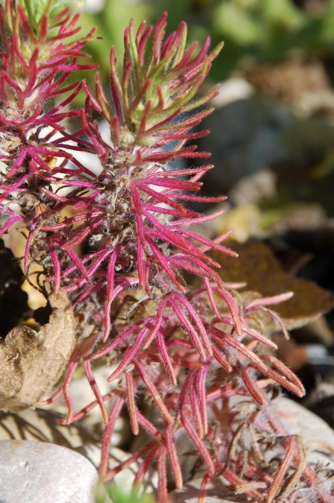Ajuga chamaepitys subsp. chamaepitys 24