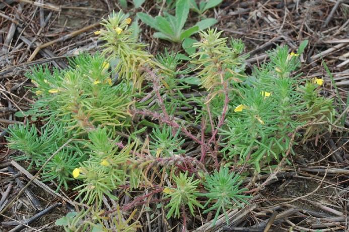 Ajuga chamaepytis subsp. chamaepytis 10