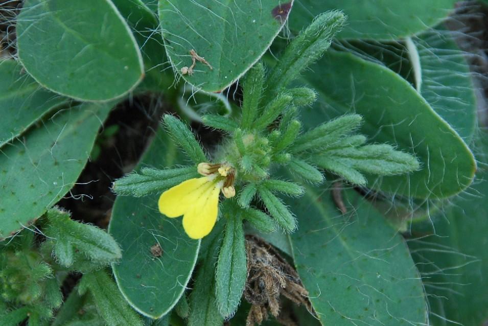 Ajuga chamaepytis subsp. chamaepytis 4