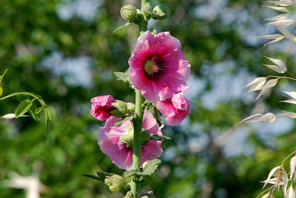 Alcea rosea 2