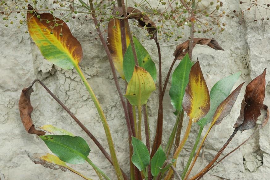 Alisma plantago-aquatica 24