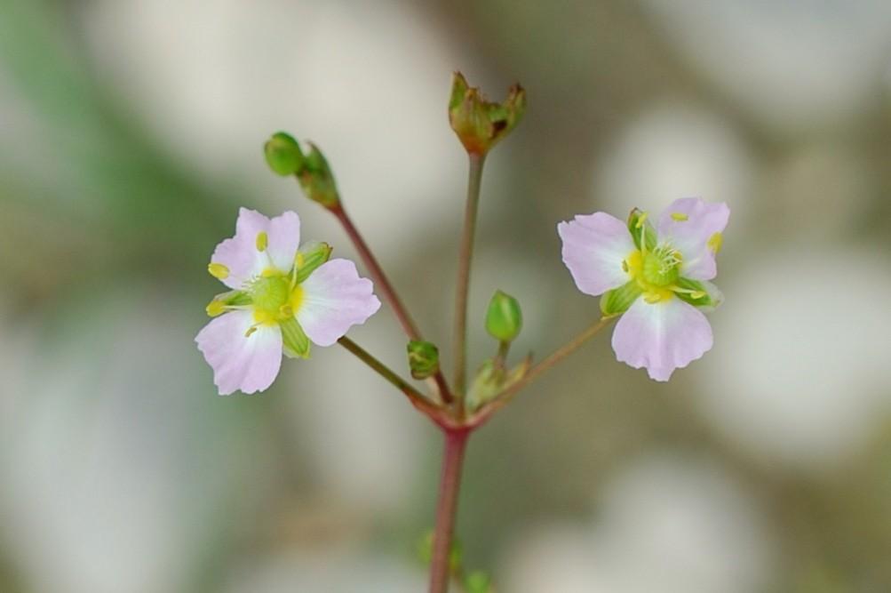 Alisma plantago-aquatica 30