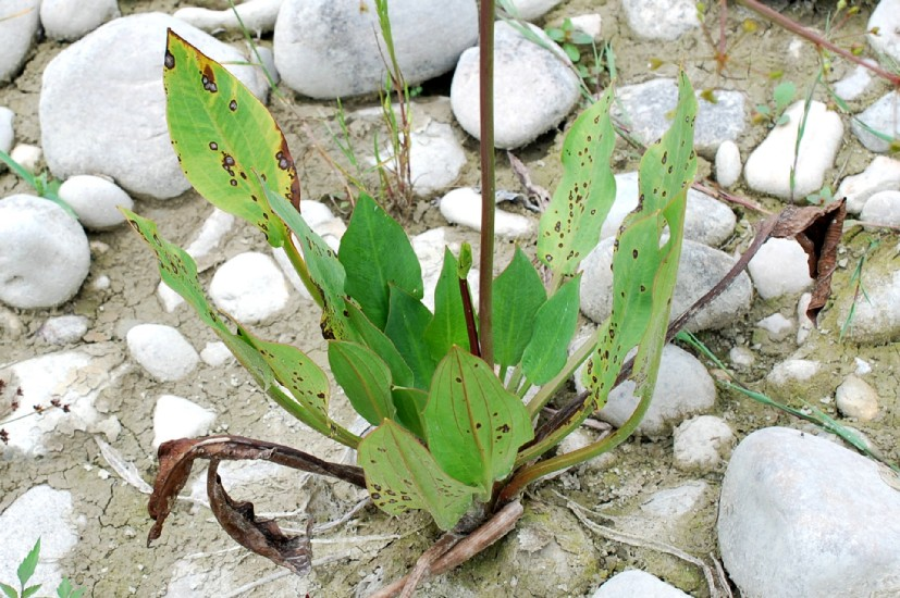 Alisma plantago-aquatica 31