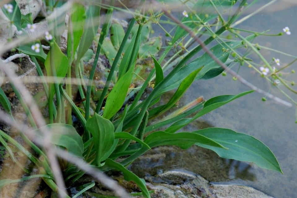 Alisma plantago-aquatica 5