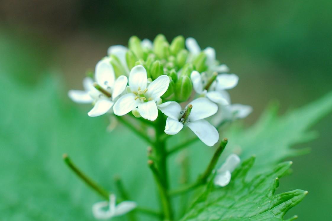 Alliaria petiolata 15