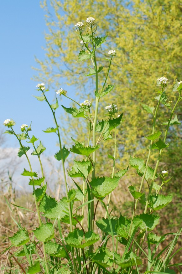 Alliaria petiolata 18