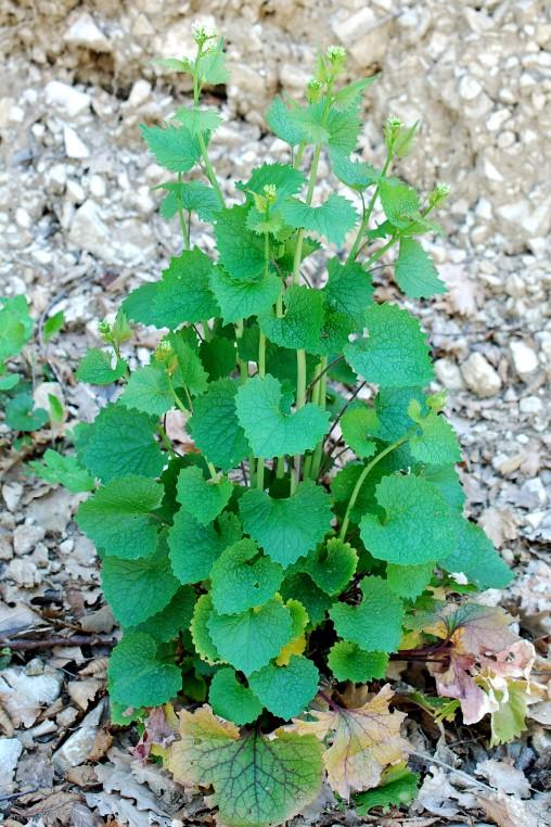 Alliaria petiolata 20