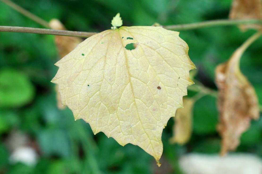 Alliaria petiolata 21