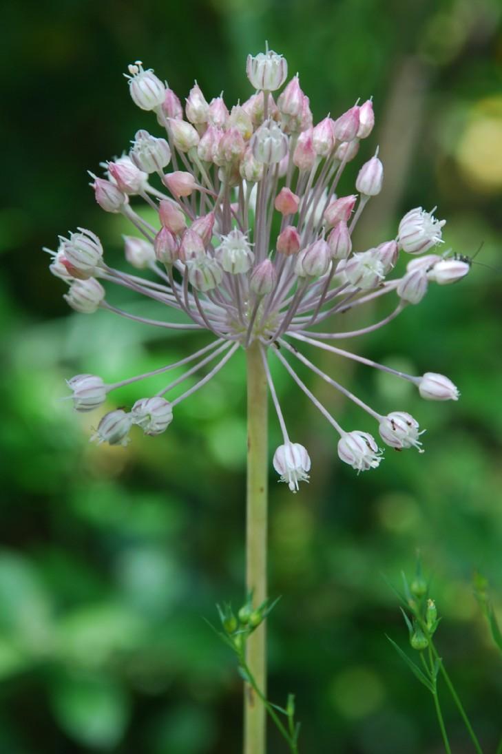 Allium ampeloprasum 11