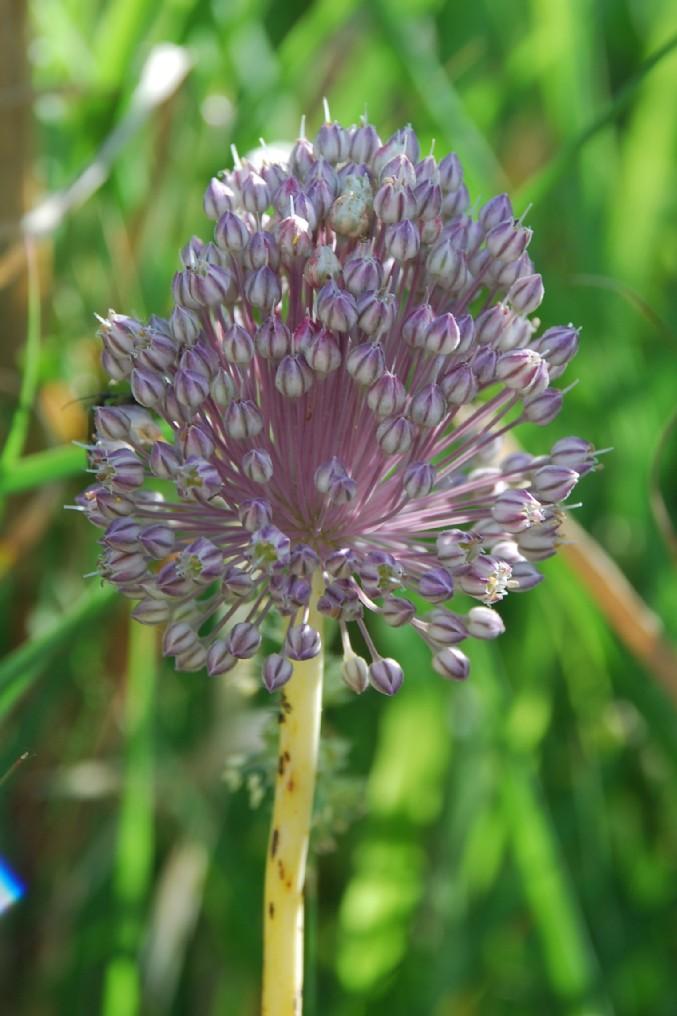Allium ampeloprasum 12