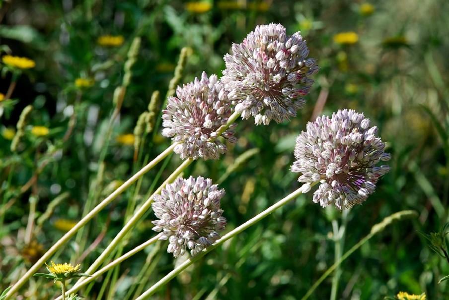Allium ampeloprasum 13