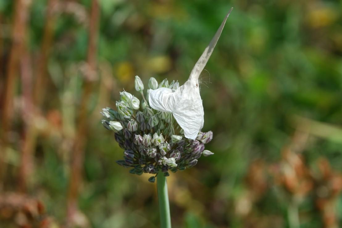 Allium ampeloprasum 14