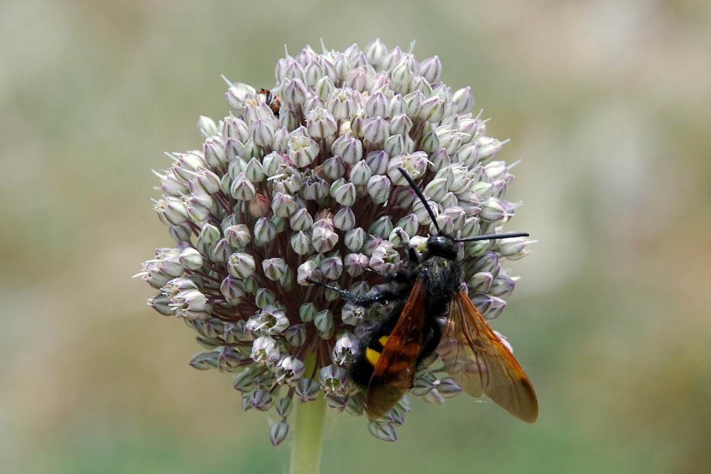 Allium ampeloprasum 15