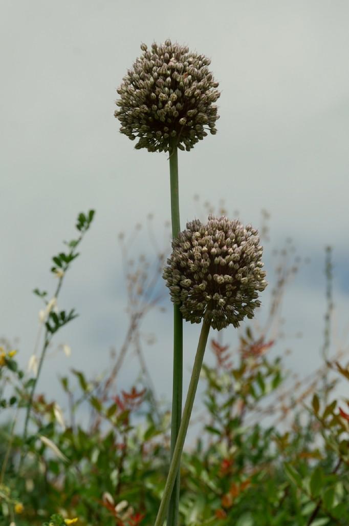 Allium ampeloprasum 16