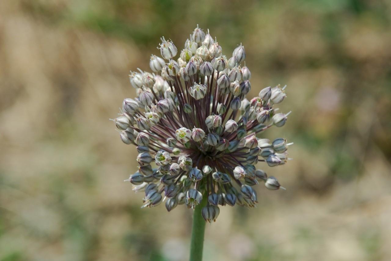 Allium ampeloprasum 19
