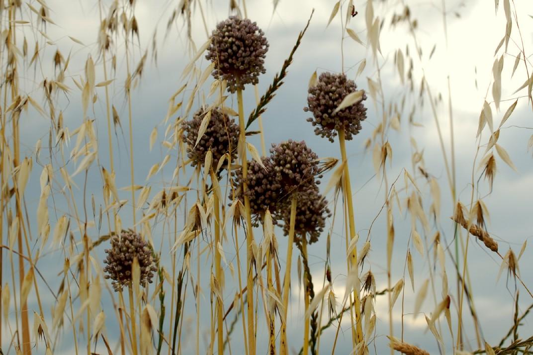 Allium ampeloprasum 22