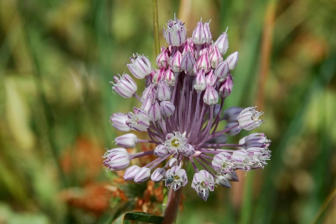 Allium ampeloprasum 23