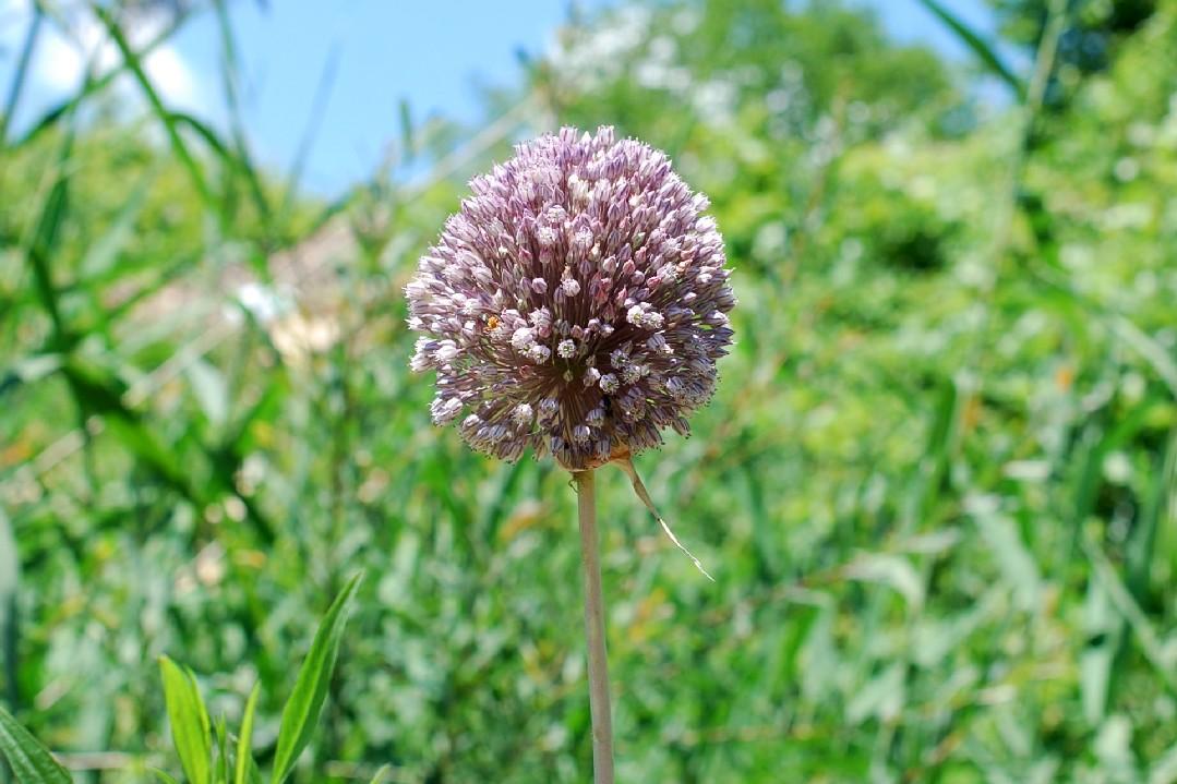 Allium ampeloprasum 26