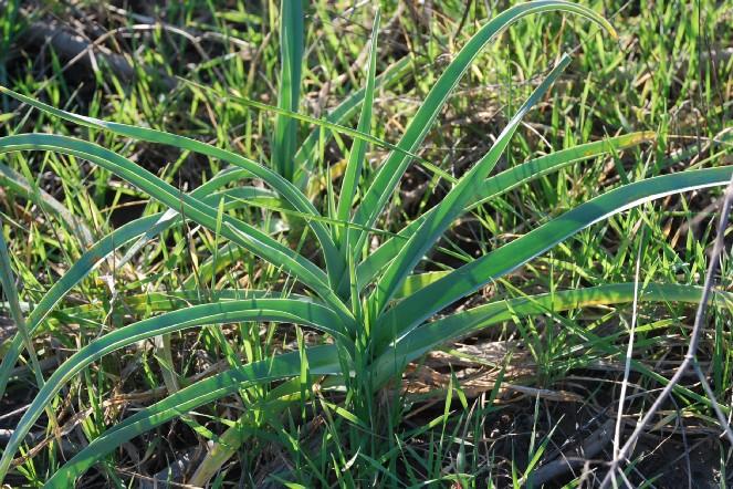 Allium ampeloprasum 6