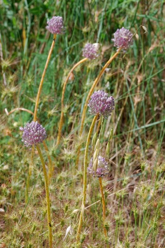 Allium ampeloprasum 7