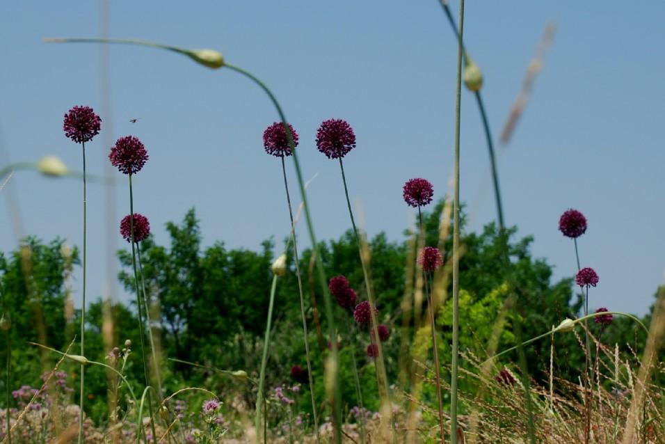 Allium atroviolaceum 14