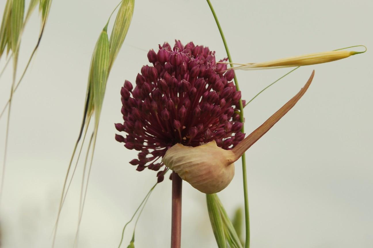 Allium atroviolaceum 7
