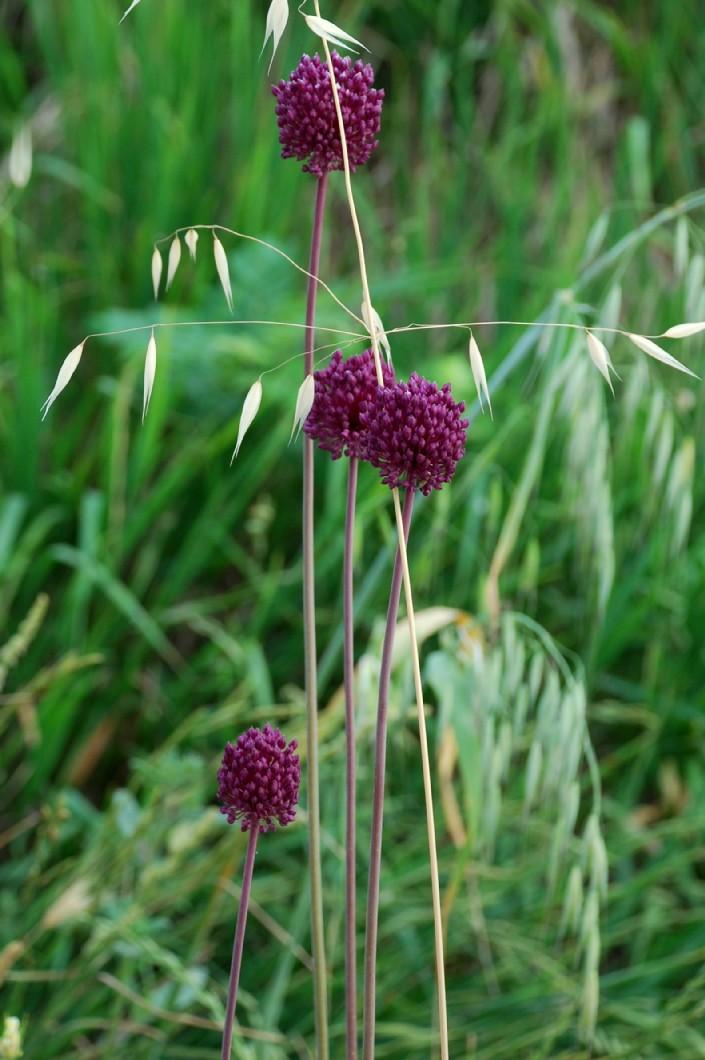 Allium atroviolaceum 8