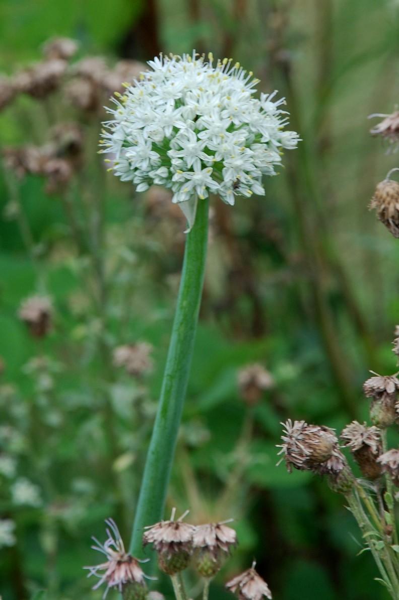 Allium cepa 10